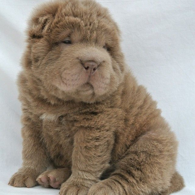 Fluffy Shar Pei - Bear Coat Shar Pei - Yuanpei Shar Pei SOUTHPORT UK! #SHARPEI #BEARCOATSHARPEI #FLUFFYPUPPY
