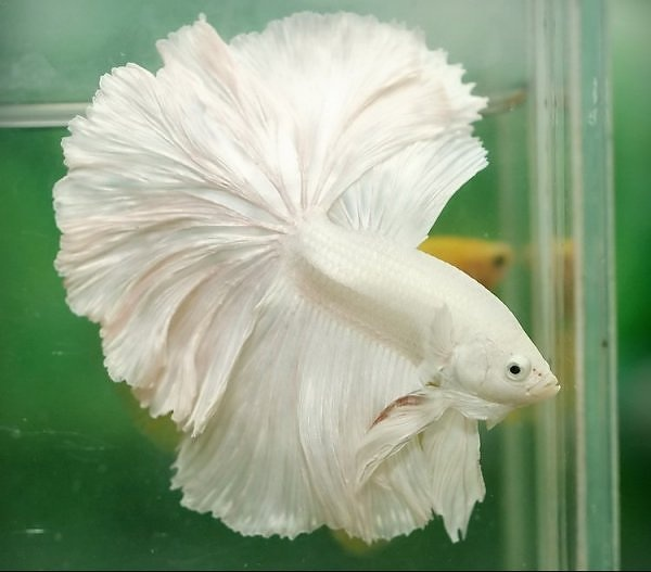 White Betta. | Betta Fish | Pinterest | Betta, Betta fish ...