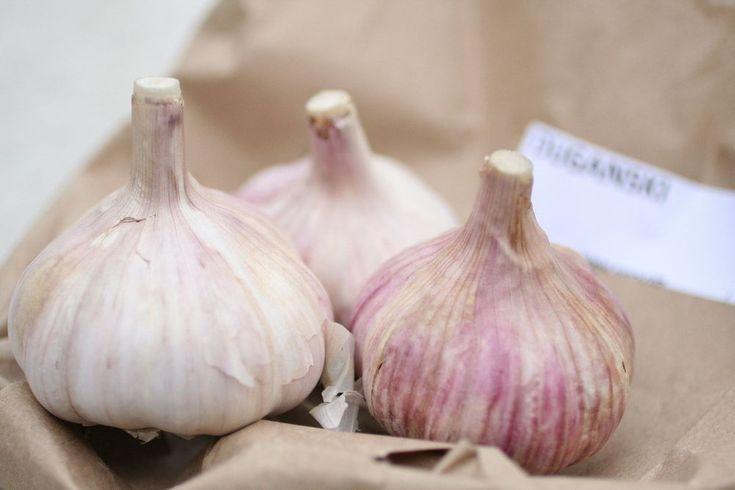 Organic Hardneck Garlic Bulbs Purple Glazer//Russian