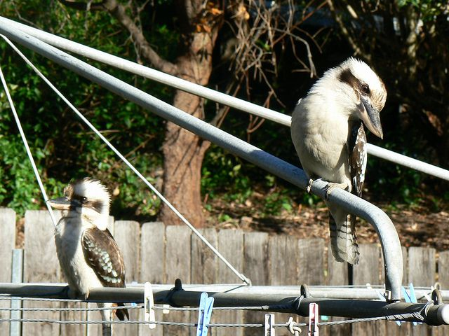 Kookaburras on the Hills Hoist by adrienne_bartl, via Flickr artist says 'typical Australian image' • hills rotary clothes hoist • Australian culture