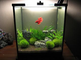 Beautiful 20 L Aquascape with moss balls for a betta