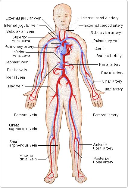 The Cardiovascular System (Blood Vessels)