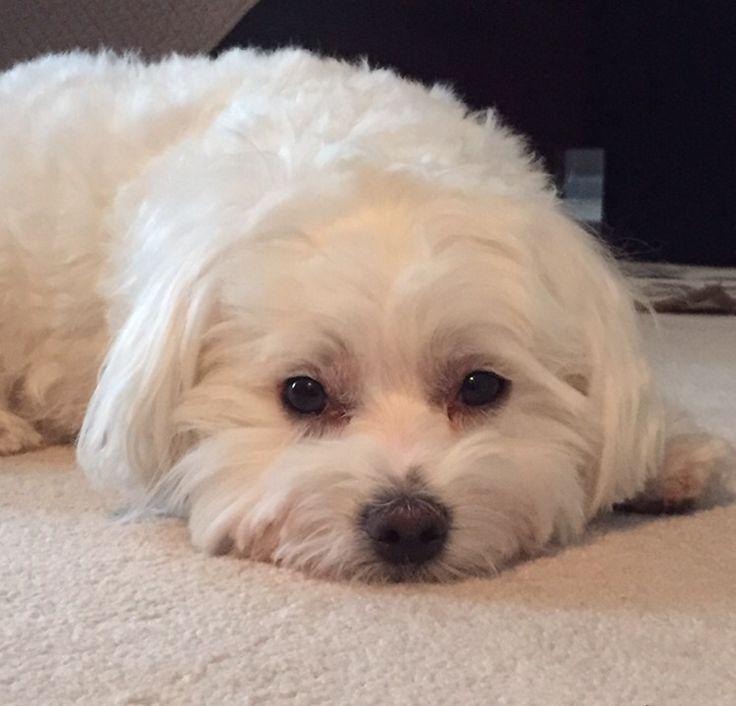 Bentley | Maltese | Puppy Love                                                                                                                                                                                 More