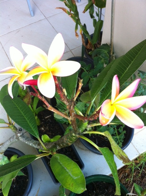 This frangipani has flowered non stop for over 6 mths. New flowers this week and its only been 7 - 20 odd degrees.