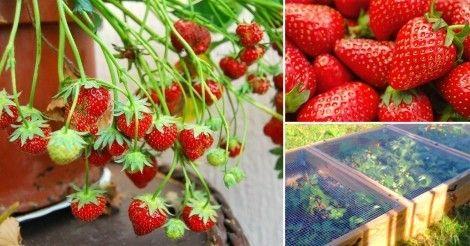 Construye un contenedor para plantar frutillas o fresas y que crezcan protegidas en tu jardín.