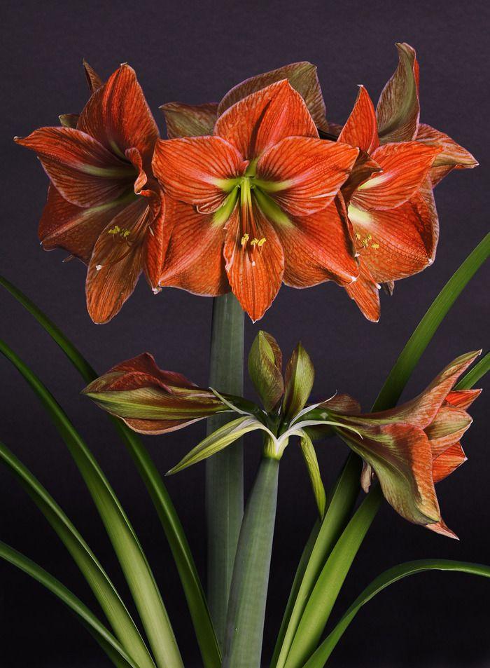 17 best images about amaryllis on pinterest white for Amaryllis hippeastrum