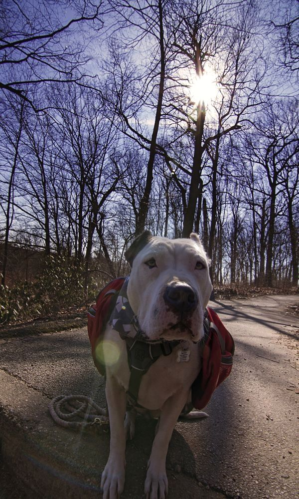 Pit Bulls Parolees Standing Strong Animal Planet Pit Bulls Parolees Pitbulls Villalobos Rescue Center
