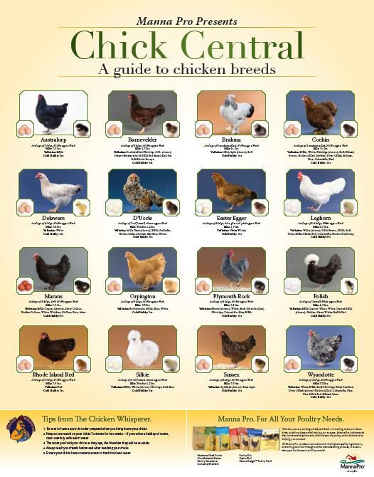 Very cool Chicken Breeds poster - 16 breeds with the chick, the hen, and the egg color plus a few bullets of breed info.  Part of Manna Pro Chick Days promotion.