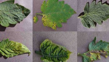 Una app con 50.000 imágenes de plantas enfermas para detectar enfermedades con un click