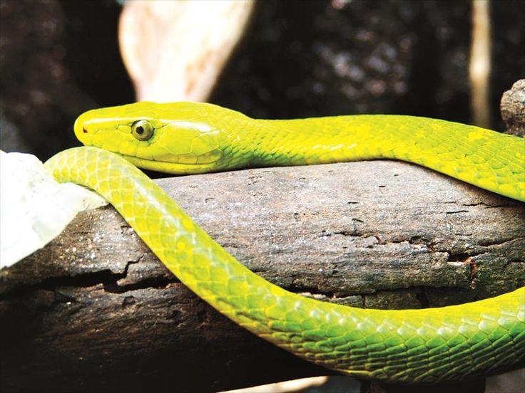 yellow mamba snake - photo #11