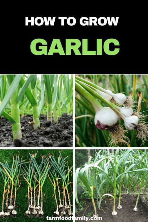 How To Develop and Harvest Garlic At House
