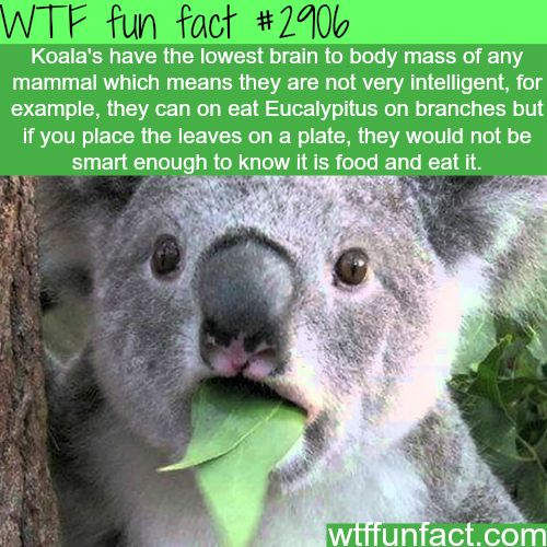 Are koalas smart animals? -  WTF fun facts