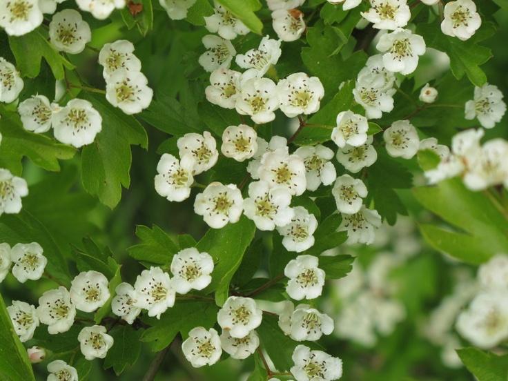Meidoorn bloeit weelderig in het voorjaar en heeft een heerlijke geur het kruid wordt toegepast bij hart problemen