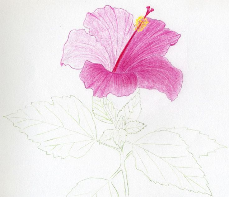 simple drawings of hibiscus flowers mulberry