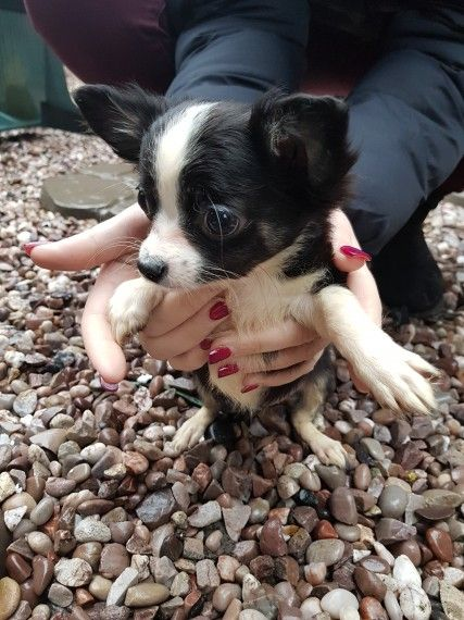 Female full pedigree Chihuahua with paper chipped | Alfreton, Derbyshire | Pets4Homes