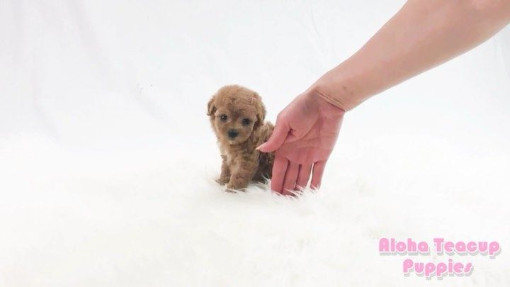Available Puppies Www Alohateacuppuppies Com Text Call 1