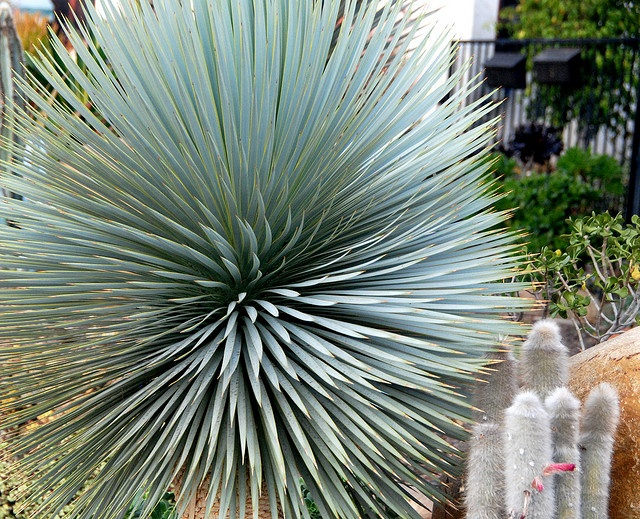 Yucca rostrata and Cleistocactus strausii by plantmanbuckner, via Flickr