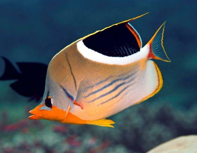 Saddle Butterflyfish (Chaetodon ephippium)