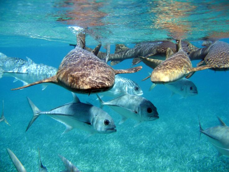 Snorkeling with sharks on the Caribbean Pirates half day excursion in Punta Cana | Palmera Travel www.grouppalmera.com #puntacana #dominicanrepublic #caribbean #travel #excursions