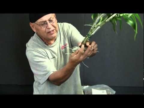 Repotting a Dendrobium