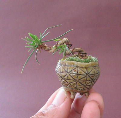 Pot is too large   super mini black pine bonsai