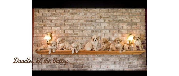 Doodles of the Valley -   Quality Goldendoodles Puppies at affordable prices