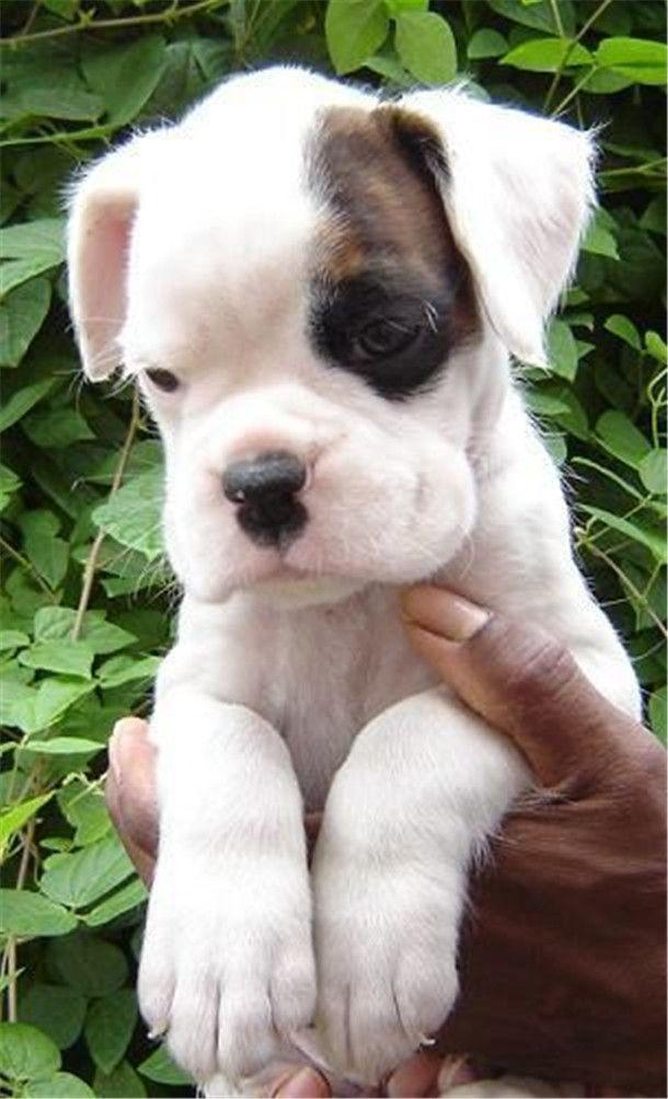 White american boxer dog puppy so cute