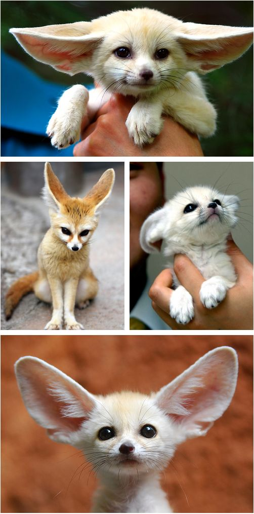Fennec Fox... these things are awesome, and they look like Pokemon!!