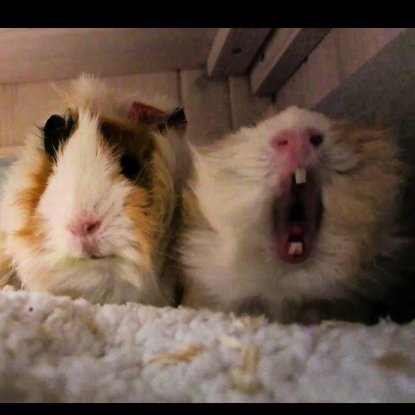 Zoe's guinea pigs: Percy & Pippin <3