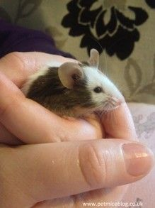 Handling a Pet Mouse