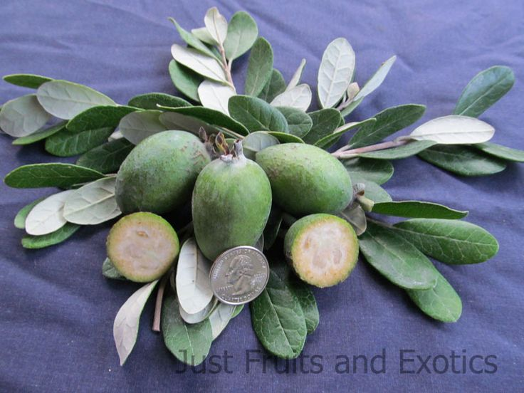 MOORE PINEAPPLE GUAVA TREE.  Rich, sweet-tart flavor. Fruits well in humid or dry climates