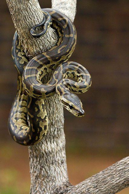 Juvenile African Rock Python - Koedoesdraai (snake)
