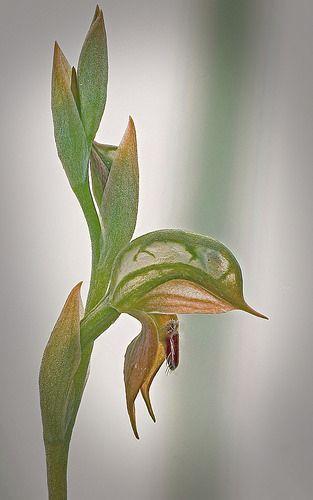 Pterostylis squamata - Ruddy Greenhood   Flickr - Photo Sharing!