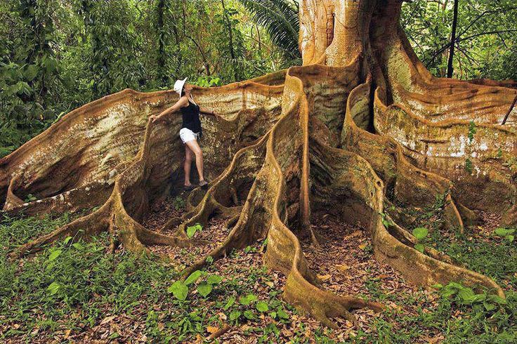 """These roots are known as """"buttress roots,"""" and they can be found on many different species of tree. They usually form in nutrient-poor soils, and so do not go particularly deep into the ground, which forces them to bulk up in order to keep the trees from falling down. Photo:  via  --  21 unique and spectacular trees and forests around the world"""