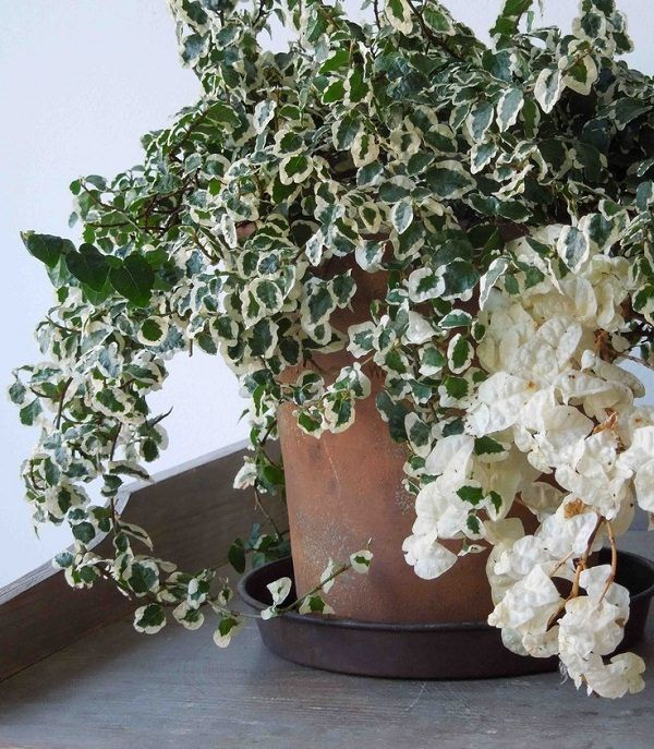 Creeping Fig variegated creeping fig_mini It's a slow growing creeper with small, leathery dark green foliage. Vigorous-growing, clinging, dense branches adhere to any surface and looks enchanting. Be careful not to overwater creeping fig. Let the soil dry out before watering.