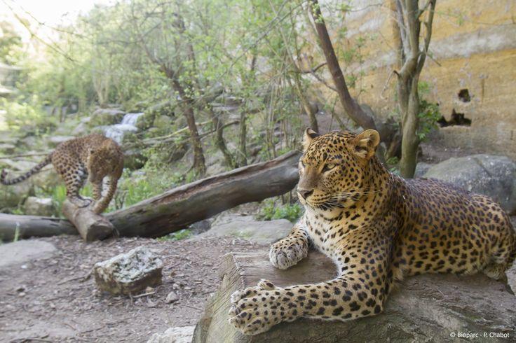 Léopard de Sri Lanka - Panthera pardus kotiya