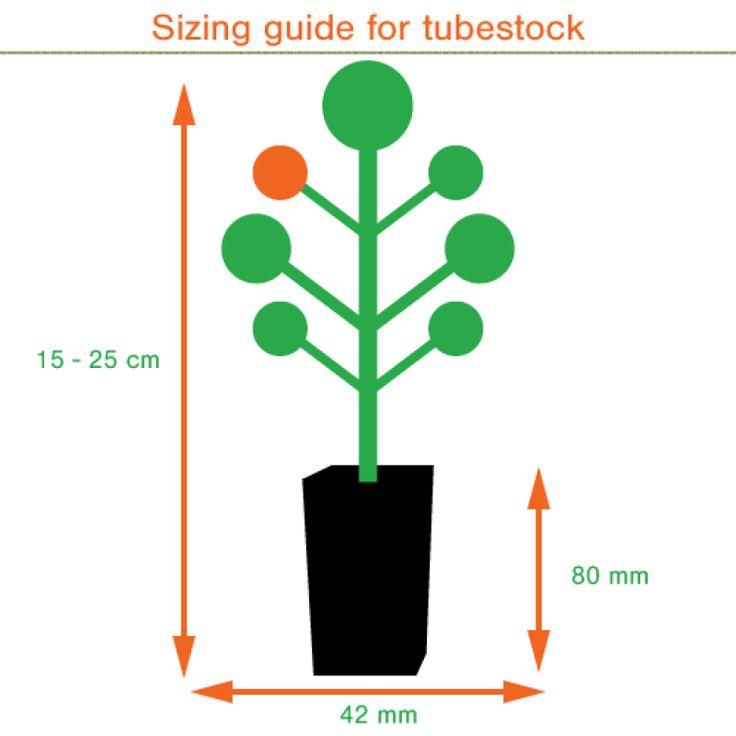 Trachelospermum asiaticum FLAT MAT™