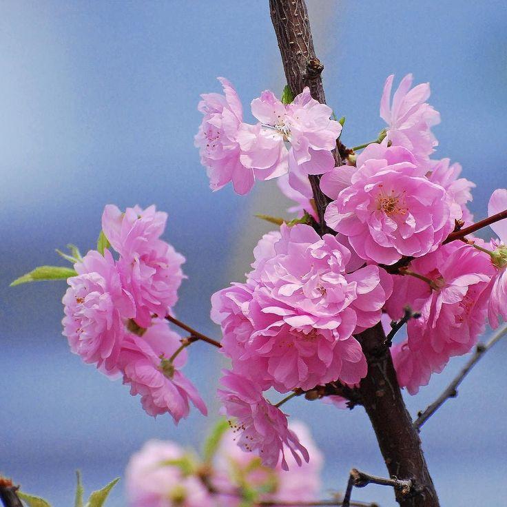 Миндаль это не только вкусно но и очень красиво!  #миндаль #цветы #цветение #аптекарскийогород #garden #весна #almond #flower #flowerstagram #nature #botanical #bloom #blossom #nikon #nikkor #nikonrussia #nikon_owners #plants #justophotoday #spring #instaspring #russia #petals #hortus #photoaday by milawita