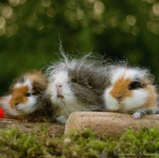 Cute Wiery Guinea Pigs