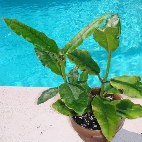 89 Best Images About Garden-Hoya Plant On Pinterest