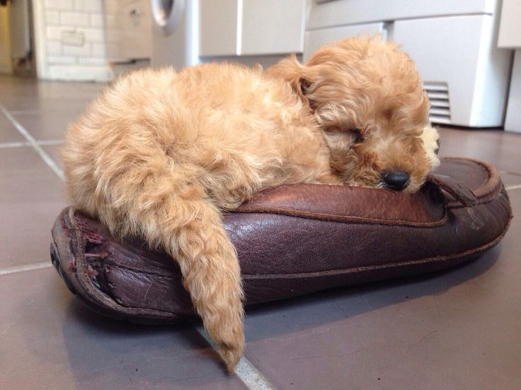 Cavapoo puppy in a shoe!