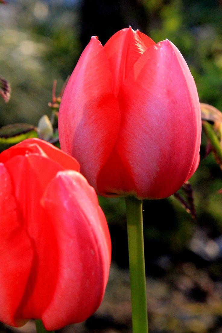 Rode Tulp. Foto Leen de Ruiter