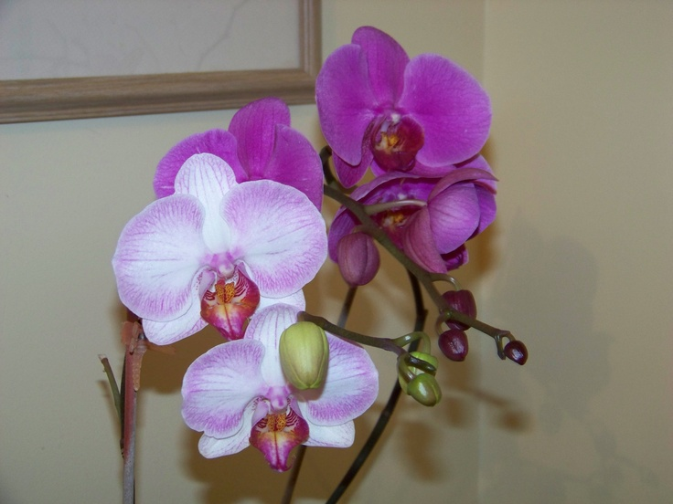 Would you believe it's really my first year for Orchids. And I usually kill even plastic plants! Ask my Mom.