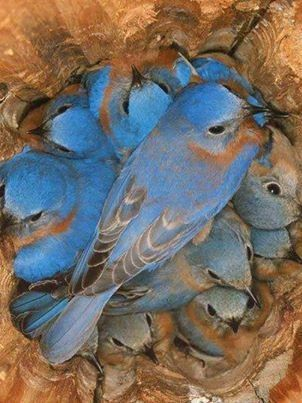 a nest of bluebirds