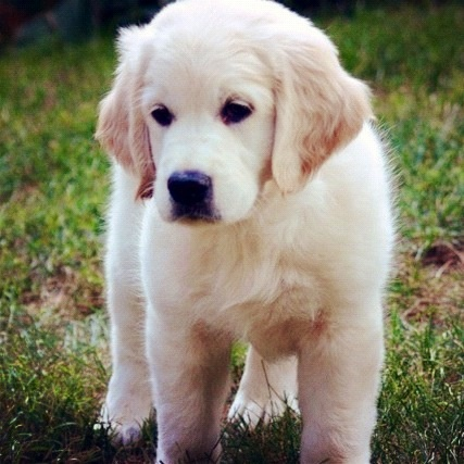 English Cream Retriever Puppy
