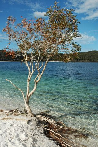 Click on this image for more information on Lake McKenzie on Fraser Island. You can buy handmade photographic greeting cards of this photo for $4.50. www.theshortcollection.com.au/Australian-Landscapes