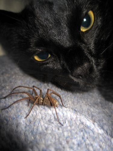 Giant House Spider & The Cat, aka Wolf Spider