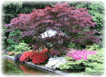 54 best japanese maples landscaping images on pinterest for Garden design with japanese maple