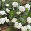 Endless Summer Blushing Bride Hydrangea  PARTIAL SHADE  Lighten shady spots with this beautiful shrub. 'Endless Summer Blushing Bride' bears clusters of gorgeous white flowers touched with light pink. Best of all, it reblooms all summer. And it resists unsightly diseases such as powdery mildew.  Name: Hydrangea 'Endless Summer Blushing Bride'  Growing Conditions: Afternoon shade and moist, well-drained soil  Size: To 6 feet tall and wide  Zones: 5-9