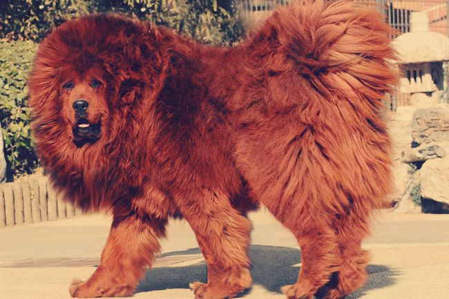 Chinese Zoo Tries to Pass off Dog as Lion, Gets Outed by Bark #China #Zoo #Lion #Dog #Strangenews